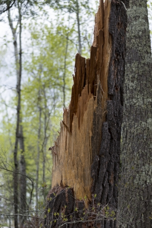 Snapped tree trunk in a forest, Lake of The Woods, Keewatin, Ontario, Canada photo