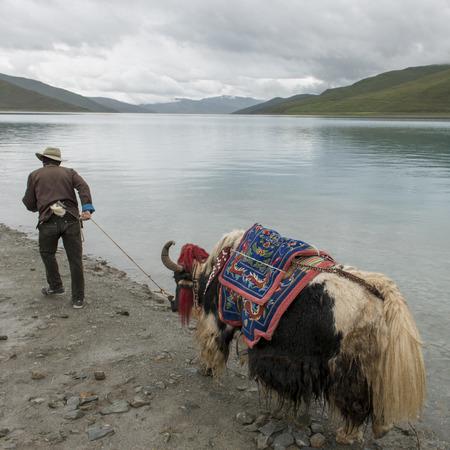 granger: Tibetan farmer with decorated Yak moving at the lakeside, Yamdrok Lake, Nagarze, Shannan, Tibet, China