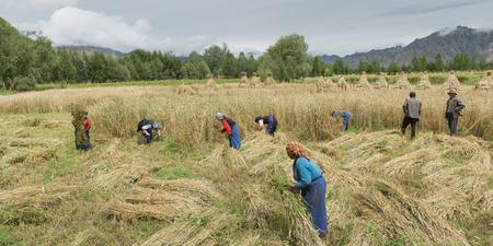 granger: Tibetan farmers harvesting barley, Quxu, Lhasa, Tibet, China