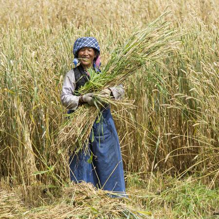 Tibetan woman harvesting barley, Quxu, Lhasa, Tibet, China