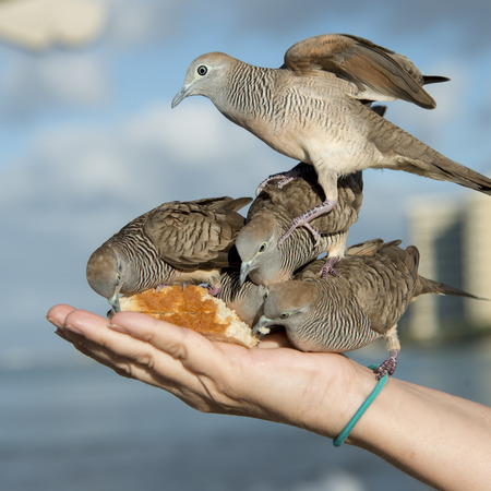 Pigeons feeding from a person's hand, Waikiki, Diamond Head, Kapahulu, St. Louis, Honolulu, Oahu, Hawaii, USA