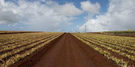 north shore: Pineapple fields, Haleiwa, North Shore, Oahu, Hawaii, USA Stock Photo