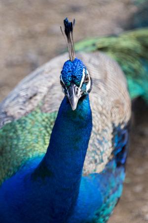 north shore: Close-up of a peacock, Haleiwa, North Shore, Oahu, Hawaii, USA