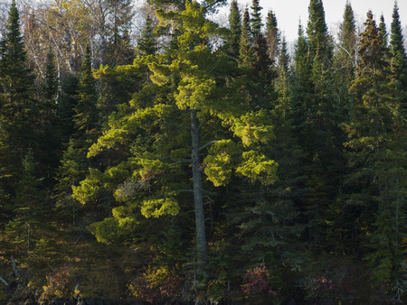 unorganized: Trees in a forest, Unorganized Kenora, Kenora, Lake of The Woods, Ontario, Canada