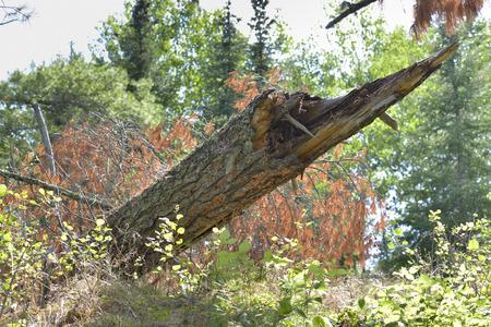 unorganized: Fallen tree in a forest, Unorganized Kenora, Kenora, Lake of The Woods, Ontario, Canada