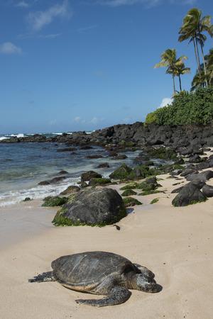 north shore: Sea turtle on the beach, Laniakea Beach, Haleiwa, North Shore, Oahu, Hawaii, USA