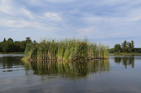 Reeds in a lake, Kenora, Lake of The Woods, Ontario, Canada