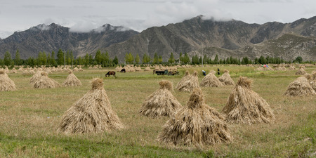 granger: Harvested barley stacks in field, Quxu, Lhasa, Tibet, China