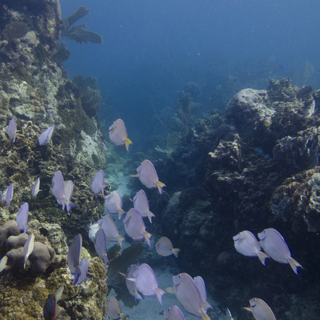 paracanthurus: School of Blue Tang fish (Paracanthurus hepatus) swimming underwater, Utila, Bay Islands, Honduras