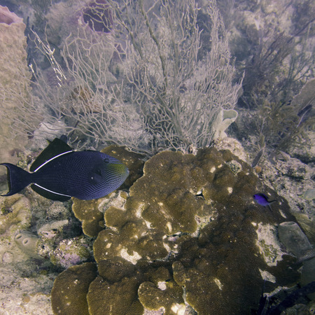 triggerfish: Underwater view of a Black durgon (Melichthys niger), Utila, Bay Islands, Honduras Stock Photo