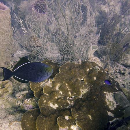 Underwater view of a Black durgon (Melichthys niger), Utila, Bay Islands, Honduras photo