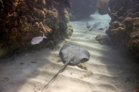 Underwater view of a Caribbean whiptail stingray (Himantura schmardae), Utila, Bay Islands, Honduras