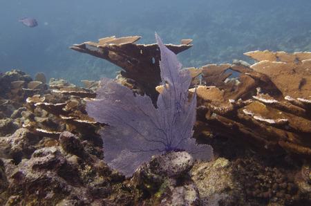 elkhorn coral: Elkhorn coral (Acropora palmata) underwater, Utila Island, Bay Islands, Honduras Stock Photo