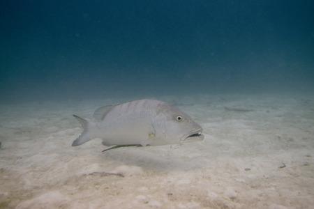 epinephelus: Grouper (Epinephelus polyphekadion) swimming underwater, Utila Island, Bay Islands, Honduras
