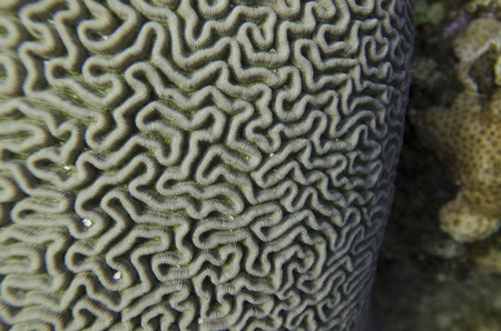 labyrinthine: Underwater view of Brain coral, Utila, Bay Islands, Honduras