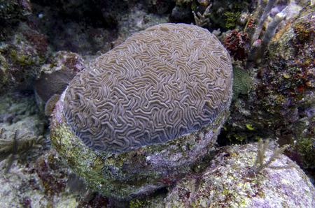 Underwater view of Brain coral, Utila, Bay Islands, Honduras Stock Photo - 28204756
