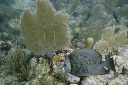 pomacanthus: French Angelfish (Pomacanthus paru) swimming underwater, Utila Island, Bay Islands, Honduras