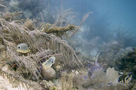 Foureye Butterflyfish (Chaetodon capistratus) swimming underwater, Utila Island, Bay Islands, Honduras
