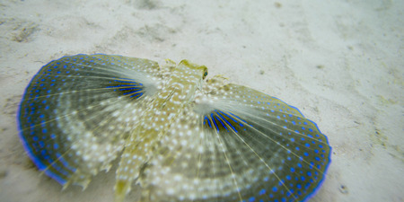 volitans: Closeup of a Flying Gurnard (Dactylopterus volitans) underwater, Utila Island, Bay Islands, Honduras Stock Photo