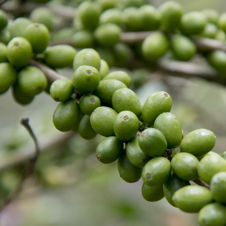 isabel: Coffee beans on a branch, Finca Santa Isabel, Copan Ruinas, Honduras