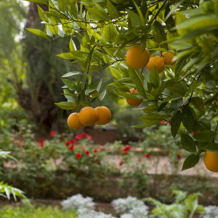 naranja arbol: Naranjas colgando del �rbol de naranja, Marrakech, Marruecos
