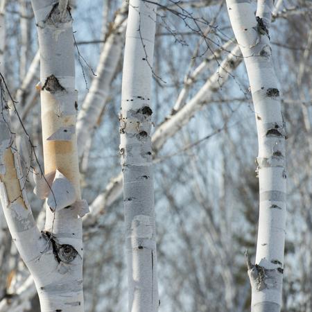 Closeup of trees, Riverton, Hecla Grindstone Provincial Park, Manitoba, Canada photo