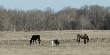 Horses grazing in a field, Manitoba, Canada photo