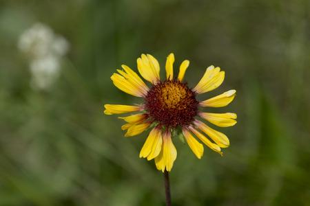 黄色のデイジー、湖 Audy キャンプ場、乗馬山の国立公園、マニトバ州、カナダのクローズ アップ 写真素材