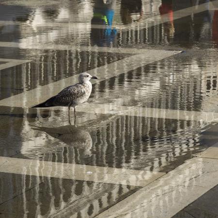 st  marks square: Seagull perching on wet street, St Marks Square, Venice, Veneto, Italy