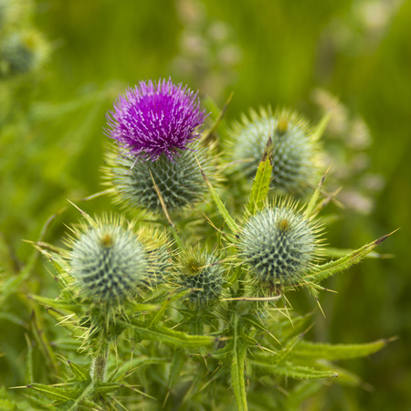 Close-up of flower on thistle plant, Duncansby Head, John o Groats, Caithness, Scottish Highlands, Scotland