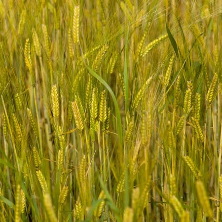 square image: Field of barley, Ballinluig, Perth and Kinross, Scotland Stock Photo