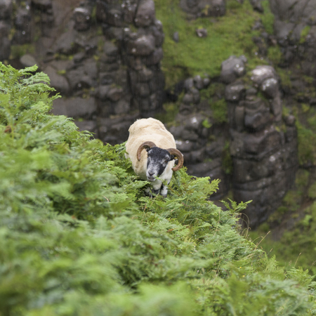 Male sheep standing on mountain, Lealt Falls Canyon, Isle of Skye, Scottish Highlands, Scotland 版權商用圖片