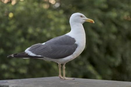 princes street: Close-up of a seagull perched on rock, Princes Street Gardens, Edinburgh, Scotland Stock Photo