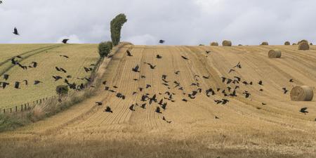 bandada pajaros: Bandada de pájaros que vuelan en el campo de la agricultura, Escocia Foto de archivo
