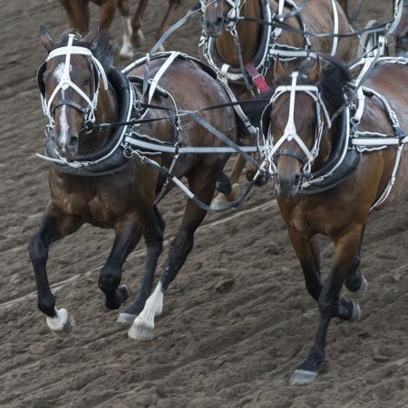 calgary stampede: Horses chuckwagon racing at the annual Calgary Stampede, Calgary, Alberta, Canada Stock Photo