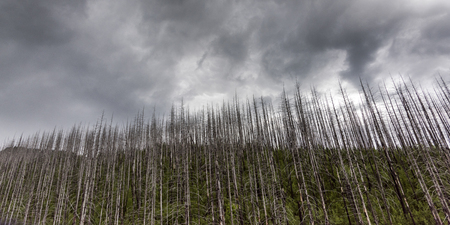 Low angle view of burnt trees against cloudy sky, West Glacier, Going-to-the-Sun Road, Glacier National Park, Glacier County, Montana, USA