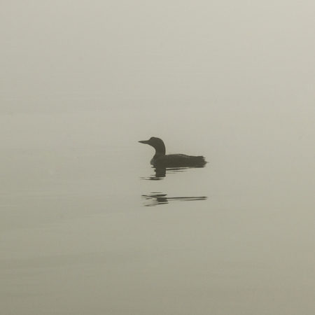 Common Loon (Gavia immer) swimming in the lake, Lake of The Woods, Ontario, Canada