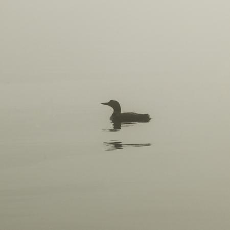Common Loon (Gavia immer) zwemmen in het meer, Lake of The Woods, Ontario, Canada
