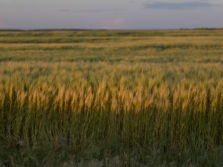 Barley in a field, Lorette, Manitoba, Canada