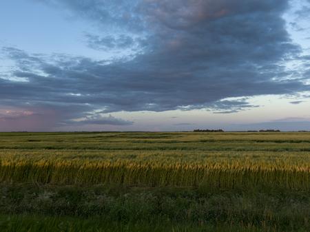cultivo de trigo: Wheat crop in field, Lorette, Manitoba, Canada