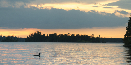 Common Loon (Gavia immer) swimming in the lake at sunrise, Lake of The Woods, Ontario, Canada