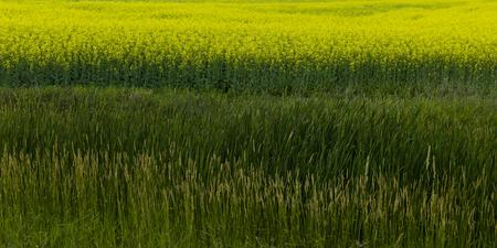 Canola crop in field, Petersfield, Manitoba, Canada Stock Photo