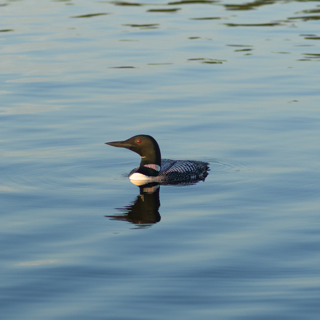 Common Loon (Gavia immer) swimming in the lake, Kenora, Lake of The Woods, Ontario, Canada Banco de Imagens