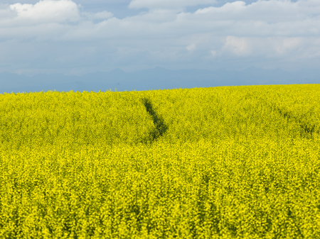 Field of canolla in bloom, Pincher Creek, Southern Alberta, Alberta, Canada Stock Photo