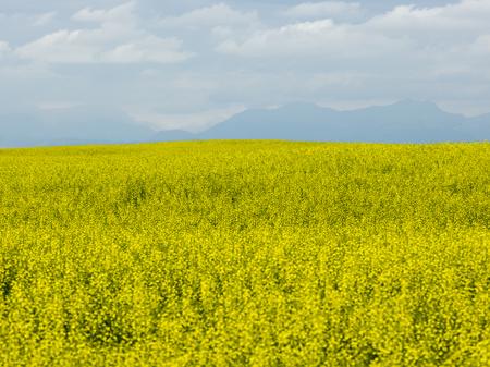 Field of canola in bloom, Pincher Creek, Southern Alberta, Alberta, Canada