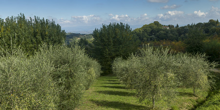 Scenic view of trees in an orchard, Chianti, Tuscany, Italy
