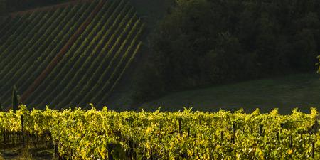 Erhöhte Ansicht von Weinbergen, Toskana, Italien Standard-Bild - 79672121