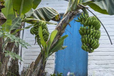 Banana tree in front of house, Yelapa, Jalisco, Mexico Stock Photo