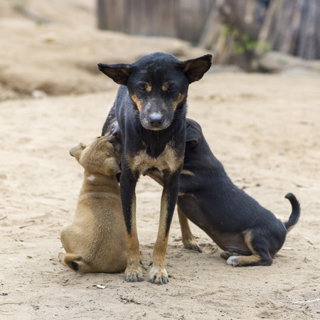 Dog nursing puppies, Ban Gnoyhai, Luang Prabang, Laos Stock Photo