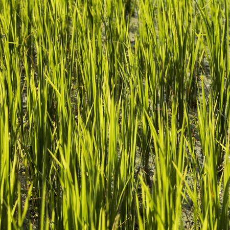 Close-up of rice crop growing in field, Kamu Lodge, Ban Gnoyhai, Luang Prabang, Laos Фото со стока
